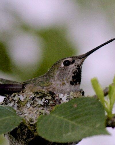 Hummingbird Mum plus Two